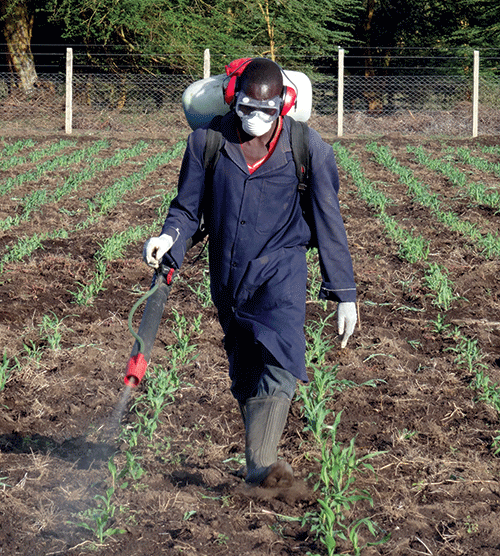 Artificial inoculation with the viruses that cause MLN at Naivasha, Kenya