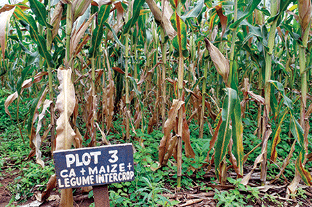 A demonstration plot in Malawi shows conservation agriculture practices
