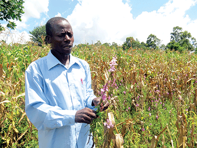 A farmer in Kenya counting his losses due to Striga infestation of his maize fields