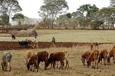 Farmers in Ethiopia plow in a maize-livestock system