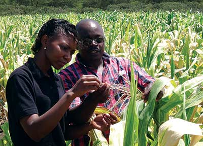 MLN technician Janet Kimunye and maize pathologist George Mahuku examine plants for infection